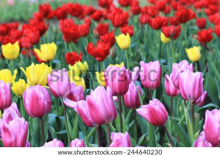 Tulip flowers,many beautiful purple,yellow and red tulip flowers blooming in the garden,Curcuma,Common Tulipa,Common Garden Tulipa - stock photo