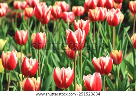 Tulip flowers,many beautiful red with yellow tulip flowers blooming in the garden,Curcuma,Common Tulipa,Common Garden Tulipa - stock photo