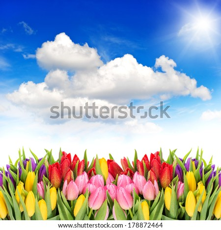 tulip flowers. spring landscape with sunny blue sky