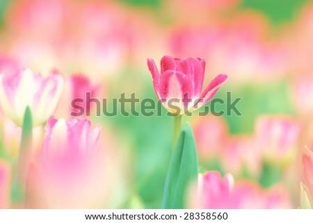 Tulip Garden - stock photo