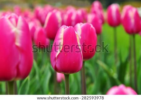Tulip garden, flowers in pink color. - stock photo