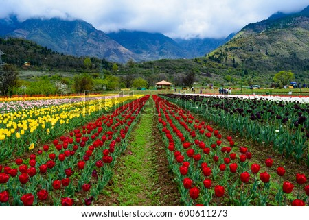 Tulips Garden Stock Images, Royalty-Free Images & Vectors ...