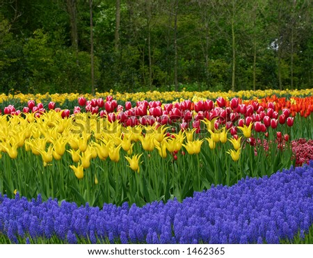 Tulip garden in keukenhof holland - stock photo