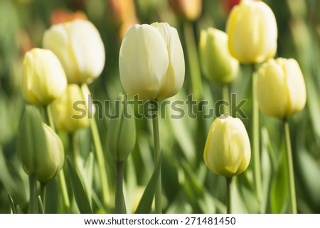 Tulip in spring time in park - stock photo