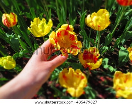 Tulip in the hand