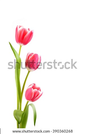 Tulip. Red Tulip and white tulip isolated on white background. Fresh tulip, isolated tulips, beautiful red tulip,pink tulip, tulip alone. Tulip for mothers day. Tulip in vase. Card with tulips.  - stock photo