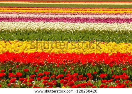 Tulip Rows - stock photo