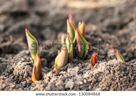 tulip sprouts. macro shot - stock photo