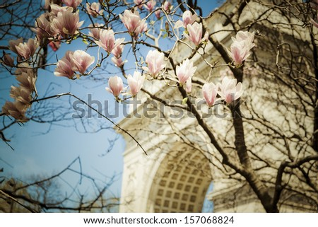 Tulip trees blooming in spring in Washington Sq., Park, New York City - stock photo