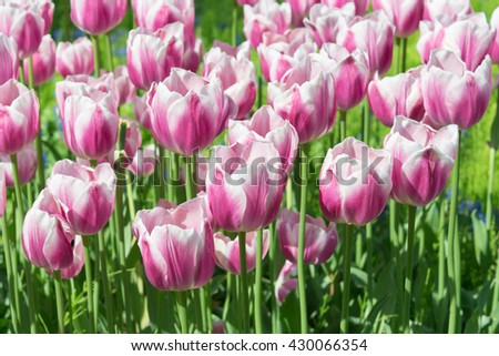 Tulip Valentine, This is a Triumph Tulip, deep rose pink with a hint of purple