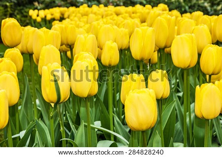 tulip yellow flowers, park Keukenhof, garden, Holland, Netherlands