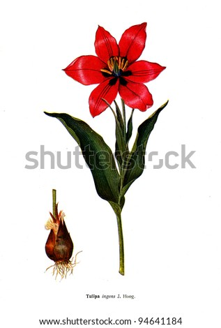 """Tulipa ingens J.Hoog - an illustration from the book """"Species of flowers bulbes of the Soviet Union"""", Moscow, 1935 - stock photo"""