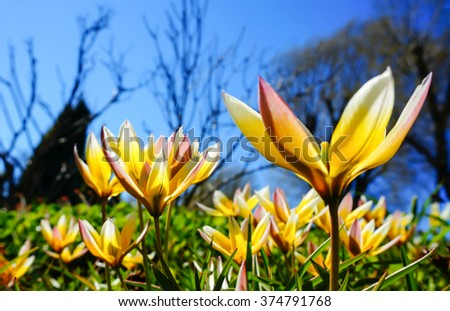 Tulipa tarda flower (late tulip, tarda tulip) in garden with blue sky background. The yellow flowers have white and light pink tips. Spring in Finland - stock photo