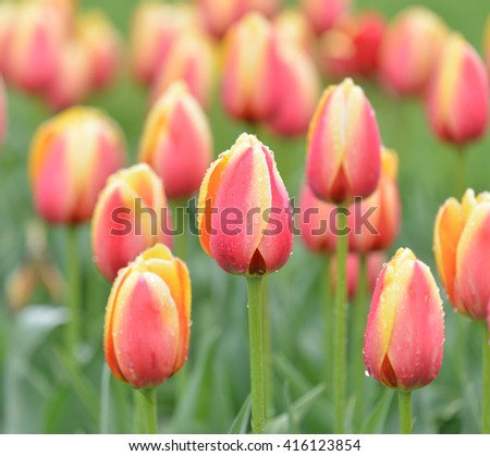 Tulips after the rain - stock photo