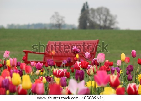 Tulips and bench at the Wooden Shoe Tulip Farm in Woodburn, Oregon - stock photo