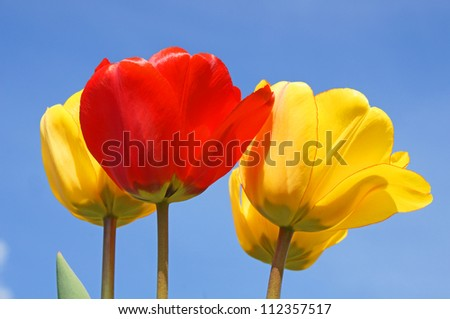 tulips and blue sky / tulips