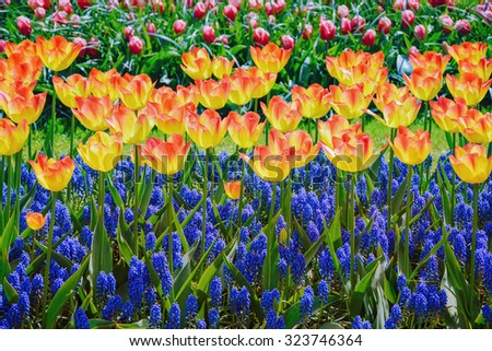 Tulips and Muscari Flowers - stock photo