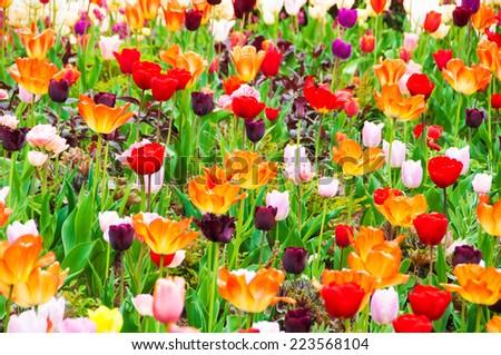 Tulips and other flowers in Keukenhof garden, Netherlands - stock photo