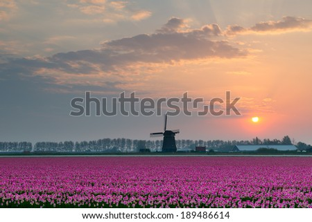Tulips and windmill by sunrise ,North Nertherlands - stock photo