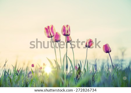 Tulips at sunset filter processing - stock photo
