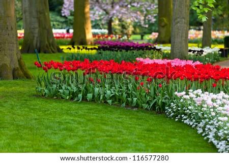 Tulips at sunset light. Bright flowerbed in Keukenhof - famous Holland spring flower park - stock photo