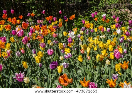 Tulips. Beautiful bouquet of tulips. colorful tulips. tulips in spring,colourful tulip,fields of tulips