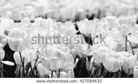 Tulips black and white style, floral, black and white.