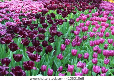 Tulips Black Jack and carola in various stages of blooming - stock photo