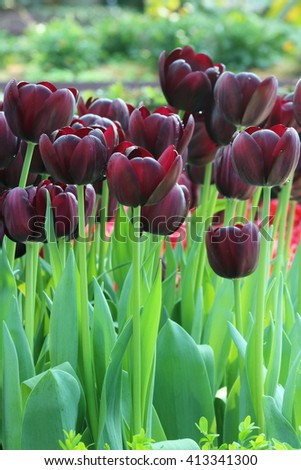 Tulips Black Jack flower bulbs about to bloom - stock photo