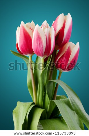 tulips. bouquet of red flowers. on a blue background