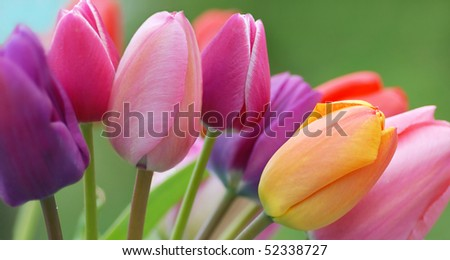 Tulips close up - stock photo