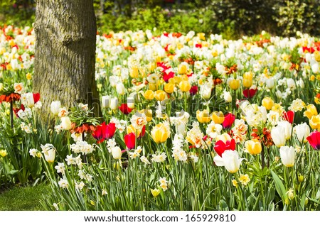Tulips, daffodils and Imperial Crowns blooming under a tree in spring - horizontal - stock photo