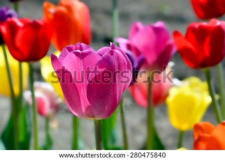Tulips field is a perennial, bulbous plant with showy flowers in the genus Tulipa, of which up to 109 species - stock photo