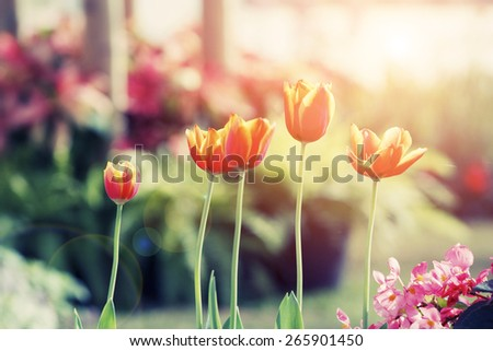 Tulips Flower in the garden with filtered image. - stock photo
