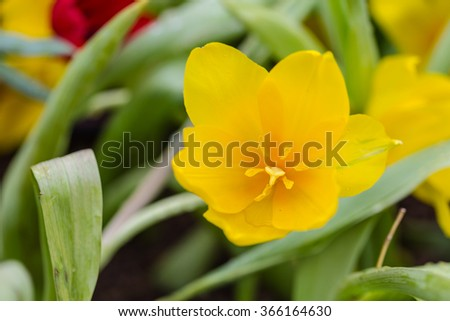 Tulips flower with water droplets - stock photo