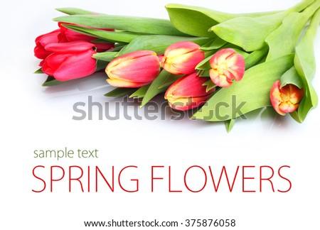 Tulips flowers white background - stock photo
