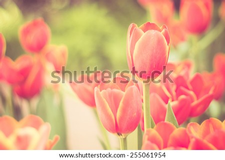 Tulips flowers with filter effect retro vintage style - stock photo
