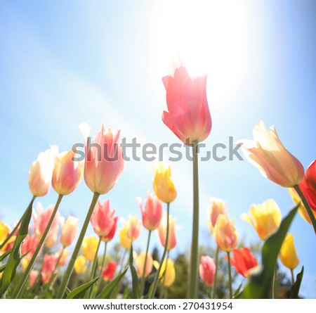 tulips framed in a wide angle image taken under the flowers on a summer sunny day - stock photo