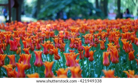 Tulips garden colorful flowers