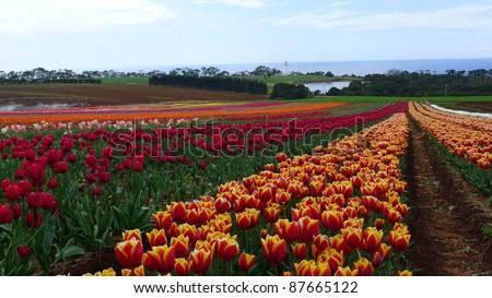 Tulips Garden in Australia- Tasmania - stock photo