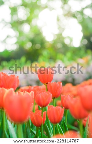 Tulips growing in garden on green bokeh background, yellow light with fog