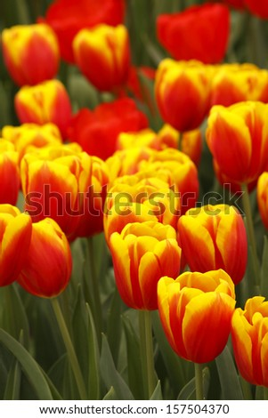 Tulips growing in Keukenhof gardens near Lisse in the Netherlands Europe - stock photo