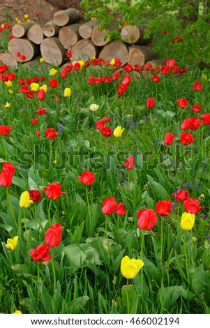 Tulips growing in the wild among grass and firewood