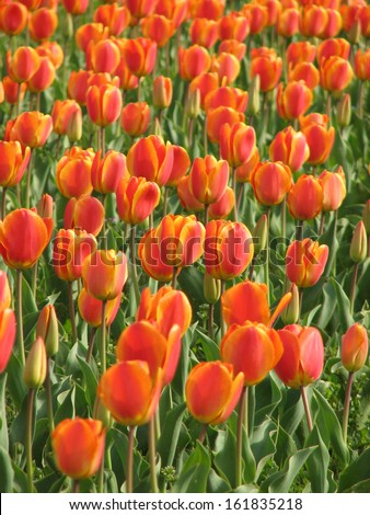 Tulips in a field - stock photo
