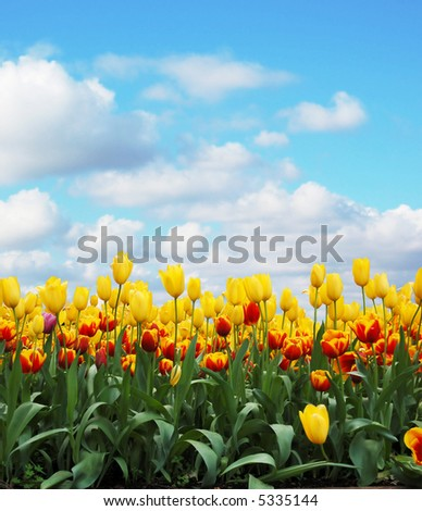 tulips in a field against cloudy sky
