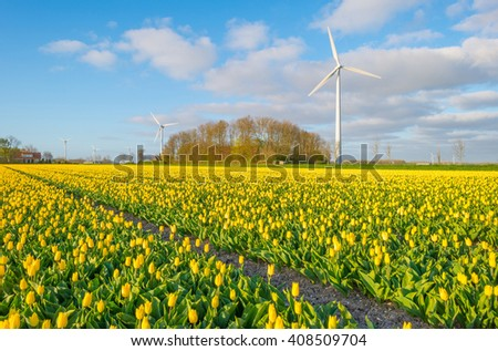 Tulips in a field in spring