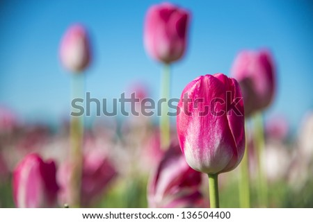 Tulips in a field of a flower farm - stock photo