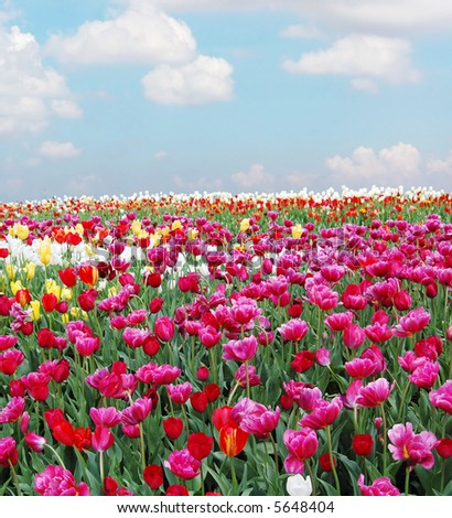 tulips in a field with cloudy sky in the background