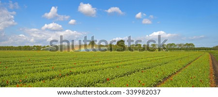 Tulips in a sunny field in spring