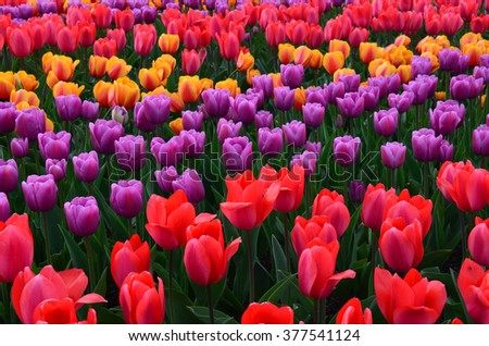 Tulips in bloom in Skagit Valley, Washington